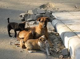 مرکزی ہنزہ میں آوارہ کتوں کی بھرمار، عوام پریشان