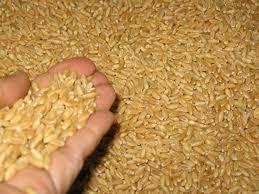 دیامر میں گندم بحران عروج پر، لوگ مجبوری کے عالم میں چاول کھانے لگے