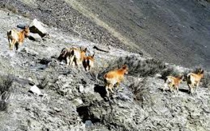 شناکی ہنزہ میں جنگلی جانوروں اور پرندوں کی غیر قانونی شکار عروج پر