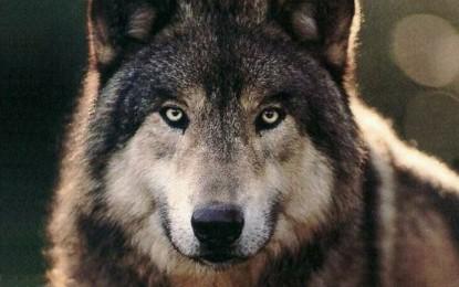"""ضلع شگر میں خونخوار """"بھیڑیا"""" مقامی کسانوں کے مویشیوں کا شکار کرنے لگا"""