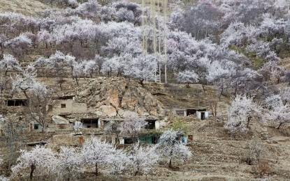 موسمیاتی تبدیلی کا اثر یا کچھ اور؟ ہنزہ نگر میں عموماً اپریل کے اواخر میں پھول دینے والے درخت مارچ میں کھل اُٹھے