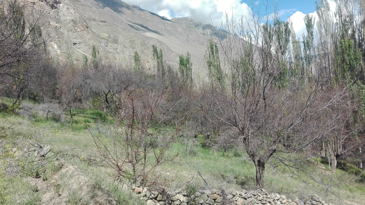 محکمہ زراعت اور ایل ایس اوز کے دعووں کے برعکس ہنزہ میں درختوں پر کیڑوں کے حملے جاری، کروڑوں کا نقصان