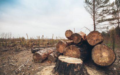 دیامرکے علاقہ تھور مکھلی اور تھک پھلیچھیا میں جنگلات کی بے دریغ کٹائی جاری