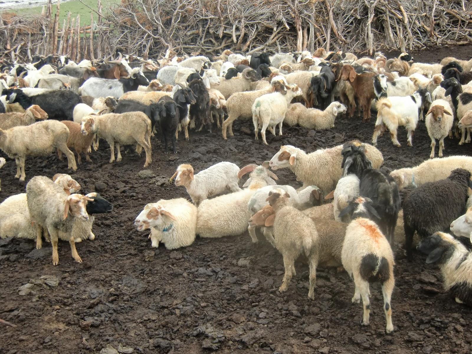 ہنزہ کے بالائی علاقے گوجال کے چراگاہوں میں موذی امراض پھیلنے سے مویشیوں کی ہلاکتیں، محکمہ حیوانات بے خبر