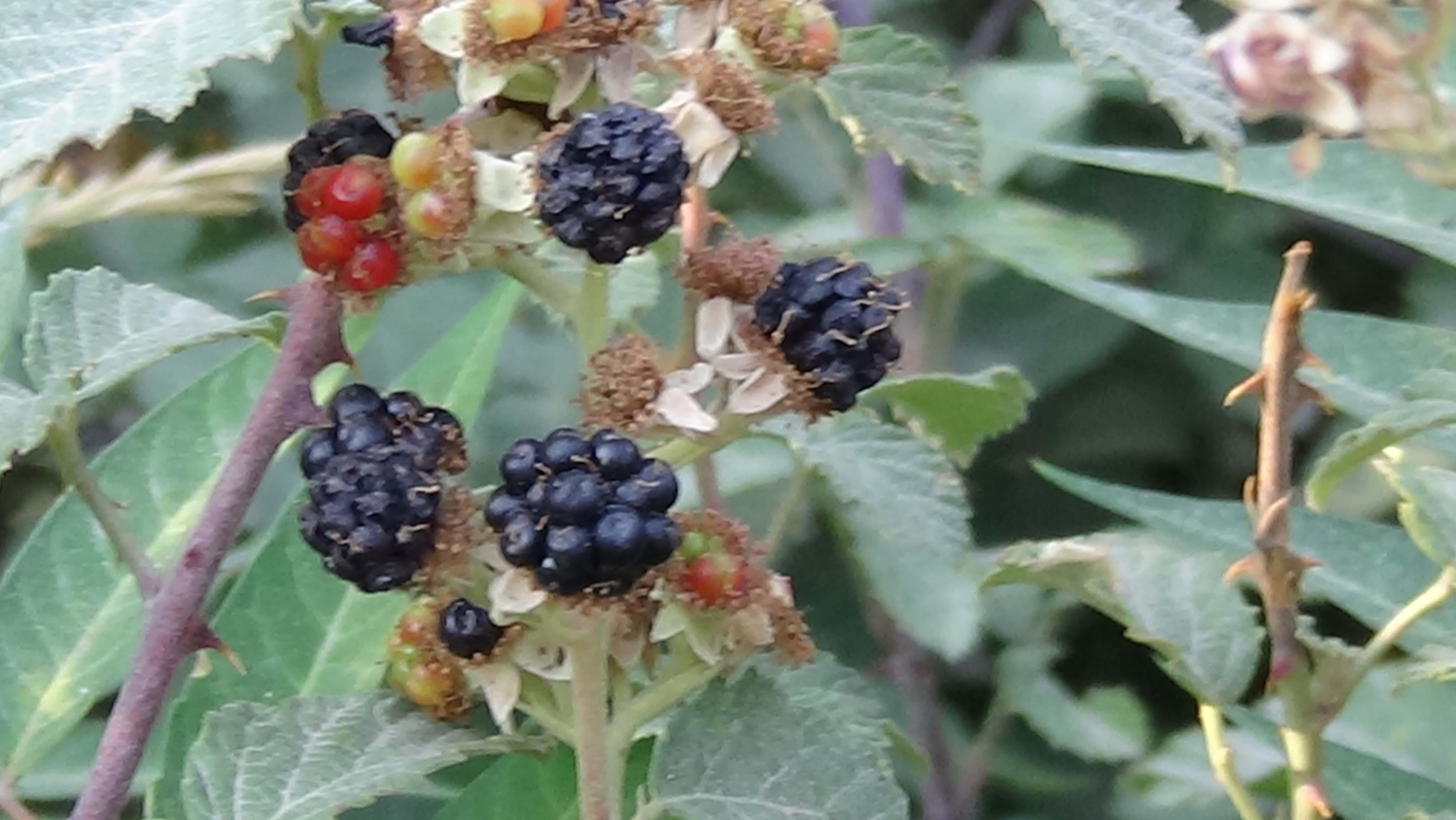 چترال کے محتلف علاقوں میں جنگلی پھلوں کی بھرمار ہے