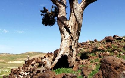 بلوچستان کے جو نیپر کے جنگلات کا ایکوسسٹم پاکستان میں سب سے زیادہ خطرات کا شکار
