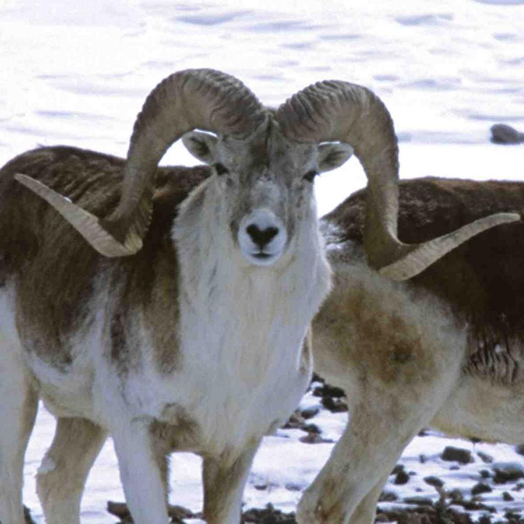 شیناکی ہنزہ میں نایاب جانوروں کا شکار عروج پر، محکمہ جنگلی حیات خاموش تماشائی