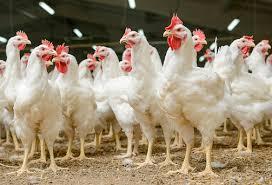 گلگت شہر کی حدود میں تین کلو گرام سے زائد وزن والے چکن کی فروخت پر دفعہ 144کے تحت پابندی لگادی گئی ، پہلے سے زبح شدہ مرغیوں کے گوشت کے فروخت پر بھی پابندی عائد۔ سب ڈویژنل مجسٹریٹ گلگت