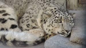گوجال: بالائی ہنزہ کے گاوں رمنجی میں برفانی چیتے کا مویشیوں پر حملہ، دس سے زائد بکریاں ہلاک