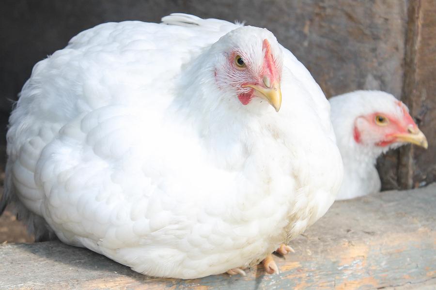 گلگت: پانچ کلو اور اس سے زیادہ وزنی مرغیاں بیچنے پر پابندی عائد