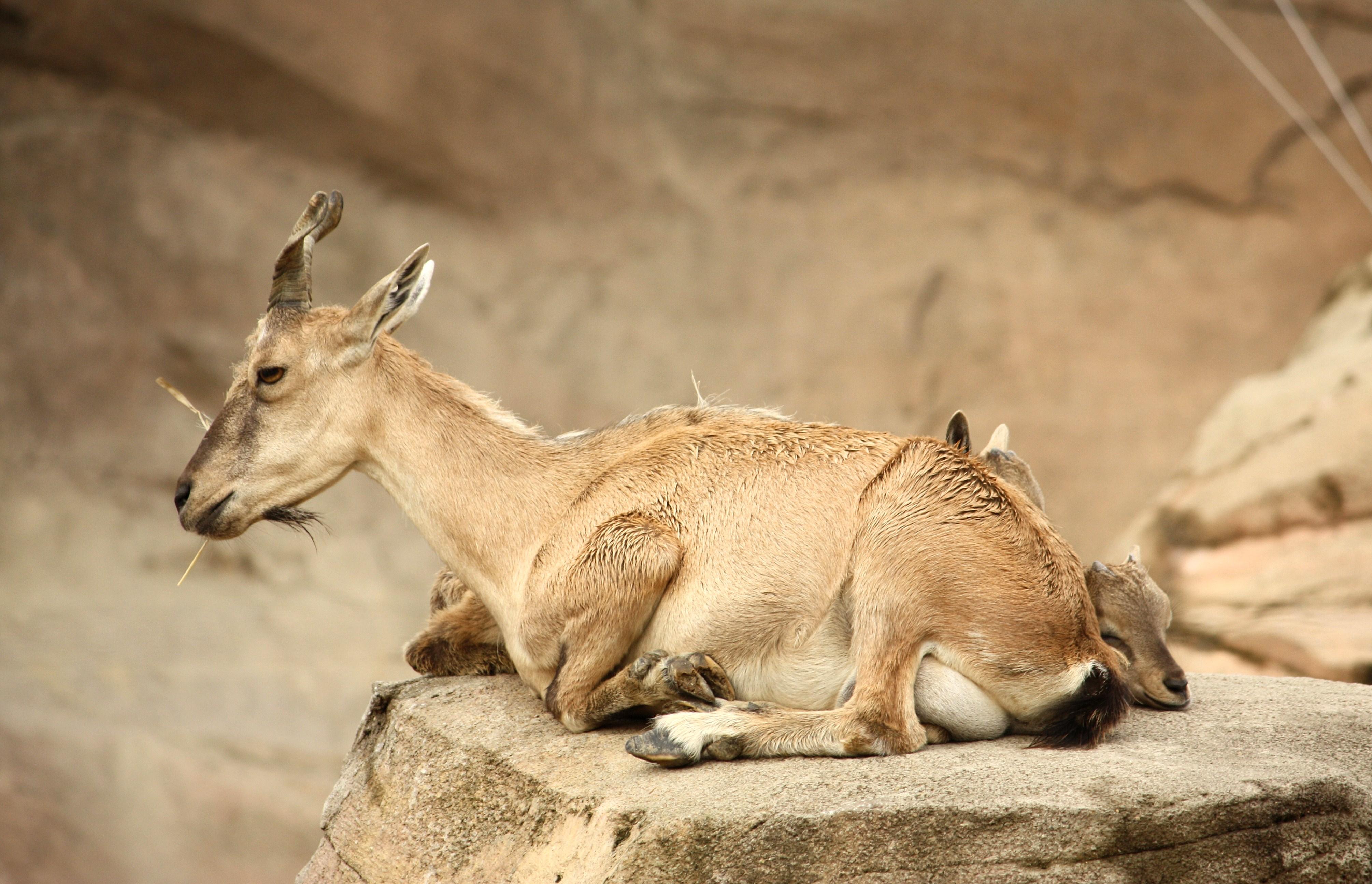 ہنزہ: غیر قانونی شکارکرنے والا شکاری محکمہ جنگلات کے اہلکاروں کے ہتھے چڑھ گیا
