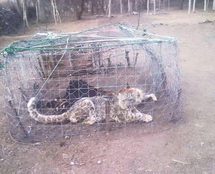 ہنزہ : حکوت مسگر میں برفانی چیتے کے حملہ سے نقصان کا تعین کرکے نقصانات کا ازالہ کرے۔ متاثرین