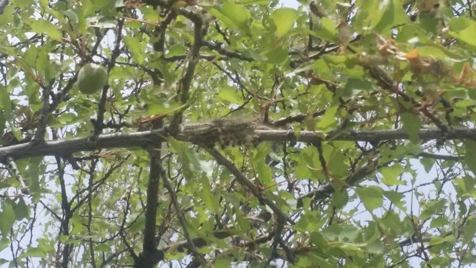 ہنزہ: پھلدار اور غیر پھلدار درختوں پر خطرناک کیڑوں کا حملہ