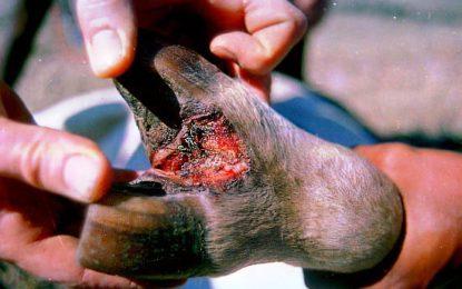 بالائی اشکومن میں منہ کھر کی بیماری پھیلنے سے 80 کے قریب مویشیاں ہلاک