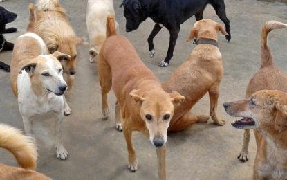 شینبر تحصیل کے آٹھ دیہات میںآوارہ کتوں کا راج، عوام، مال مویشی غیر محفوظ