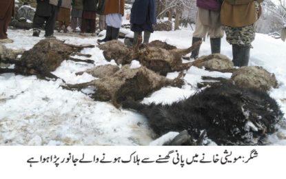 شگر: ہورچس میں مویشی خانے میں پانی گھسنے سے 15مویشی ہلاک