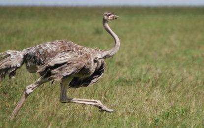 کیا شتر مرغ(Ostrich)بہت اچھا باپ ہوتاہے؟
