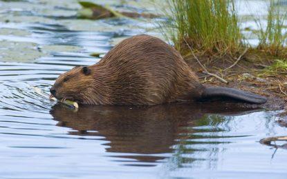 کیا اودبلاؤ(Beavers)پانی میں گھر بناتاہے؟