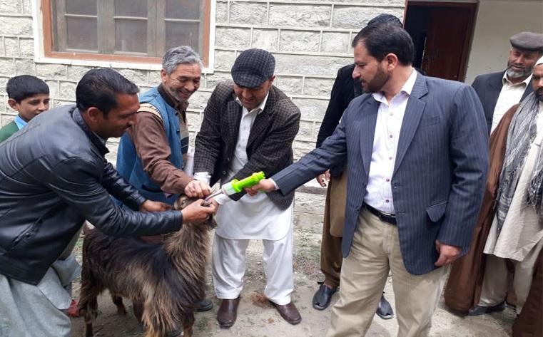 محکمہ لائیو سٹاک شگر کے زیرِاہتمام جانوروں کو بیماریوںسے بچانے کے لئے خصوصی مہم کا آغاز