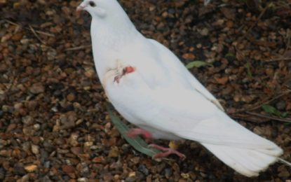 یاسین میں نابالغ شکاریوںنے فاختوں کی نسل کشی شروع کردی