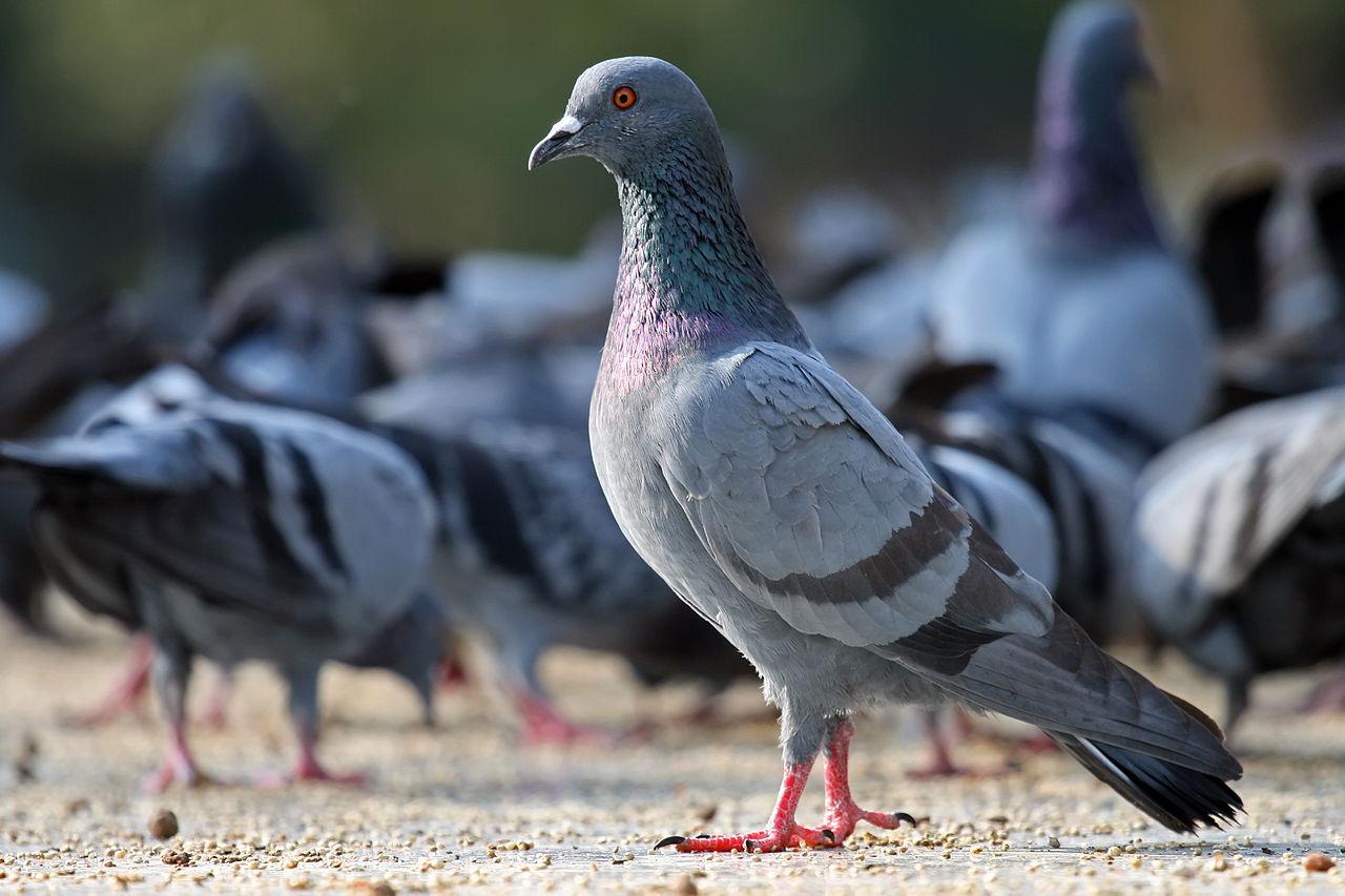 زہر کی وجہ سے پچاس سے زائد پالتو کبوتروں کی ہلاکت، مالک نے مقدمہ درج کروالیا