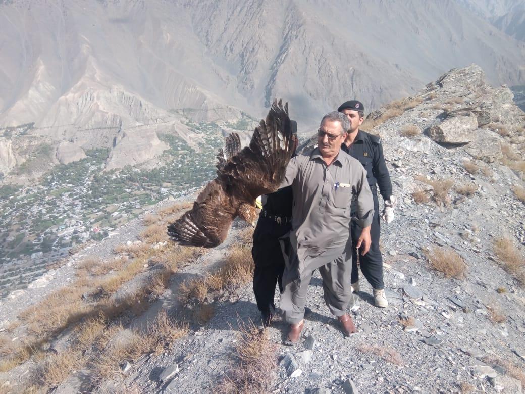 محکمہ جنگلی حیات چترال نے غیر قانونی طور پر پکڑے گئے گندمی عقاب کو آزاد کردیا