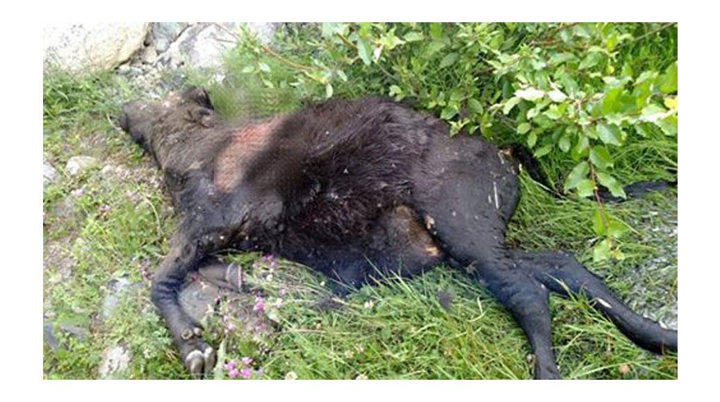 گلتری کے نواحی علاقوںمیںجنگلی جانور مویشیوںپر حملہ آور، پندرہ ہلاک
