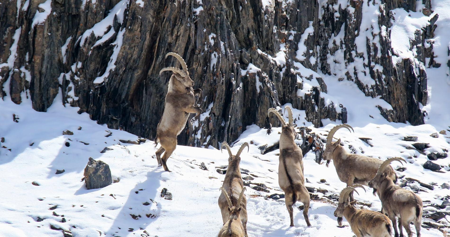 کوہ ہندوکش کی یخ بستہ ہوائیں اور جنگلی حیات