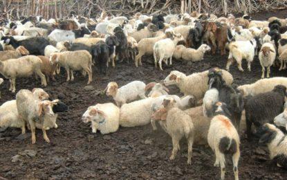 شگر وزیر پور میں مویشیوں میں پراسرار بیماری، وٹیرنری ڈسپنسری میں نہ اسٹاف اور نہ ہی ادویات