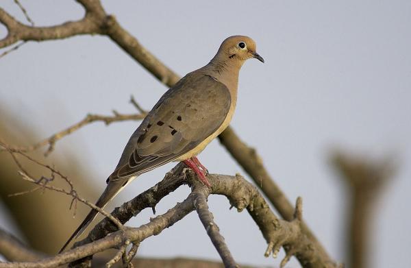 """غذر میں فاختاوں اور """"مہمان پرندوں"""" کے شکار پر پابندی عائد"""