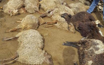ضلع نگر کے چراگاہ میں برفانی چیتا مویشیوںپر حملہ آور، متعدد ہلاک