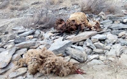 چھلت کے سرمائی چراگاہ میں چیتے نے تباہی مچادی، 14 مویشی ہلاک