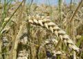 ضلع نگر میں مرکزی دیہی تنظیمات کے ذریعے بیج تقسیم کئے جاچکے ہیں، گندم کی پیداوار زیادہ ہوگی، ڈپٹی ڈائریکٹرمحکمہ زراعت